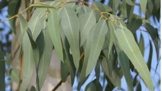 Cây Bạch Đàn Trắng (Khuynh diệp mùi)