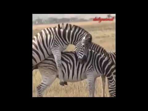Download Zebra Mating compilation 2019 - Zebra breeding (1/3)