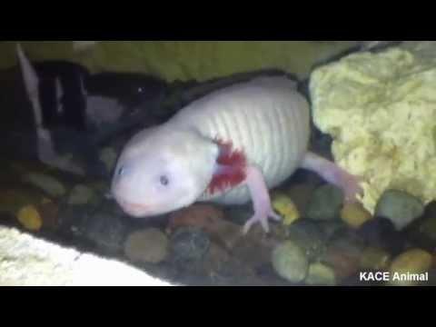 Axolotl weird looking walking fish youtube for The walking fish