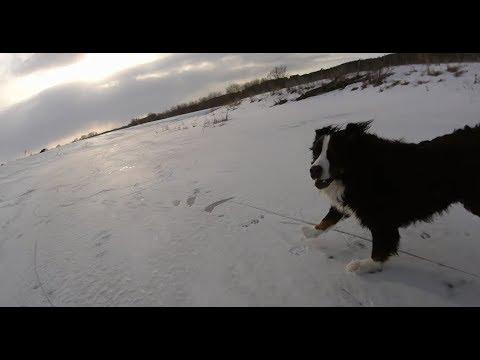 Who's faster?  Skater vs Bernese Mountain Dog vs German Shepherd on a frozen river