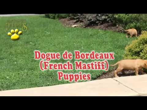 Dogue de Bordeaux (French Mastiff) Puppies