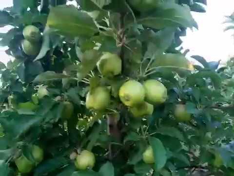 Урожай яблонь на М26, завязка урожая начало июля