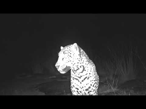 "Jaguar Named ""Sombra"" in Chiricahua Mountains in Arizona"