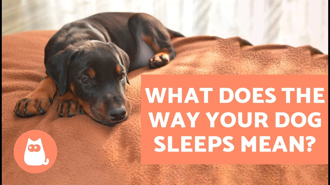Dog Sleeping Positions And What They Mean - Find Out Here!