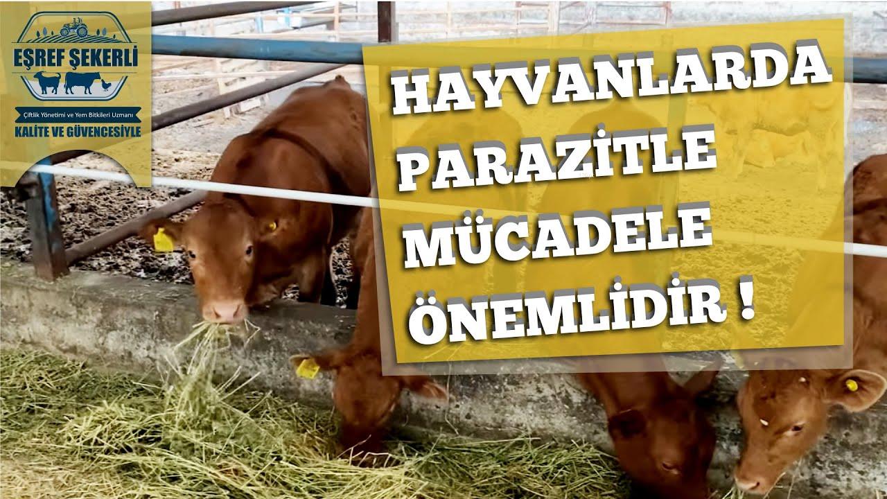 Hayvanlarda parazitle mücadele önemlidir #parazitlemücadele #parazit #eşrefşekerli