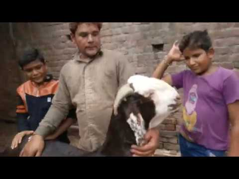 Ahmedabad Goats | Shamsad Bhai Goats.