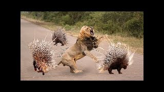 Wild Animals Fight Powerful Lion vs Crocodile, Elephant vs Buffalo Deer Python Leopard Hippo