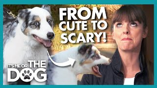 Australian Shepherd is Scaring off New Friends with Frightening Energy! | It's Me or The Dog
