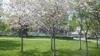 Японските вишни пред Народната библиотека, Цветница, 28.04.2013