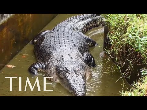 A Woman Was Mauled To Death By A Pet Crocodile In Indonesia   TIME