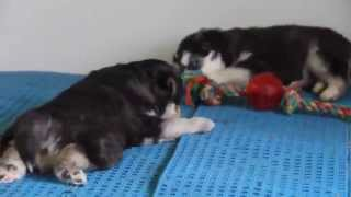 Husky Mix Puppies For Sale