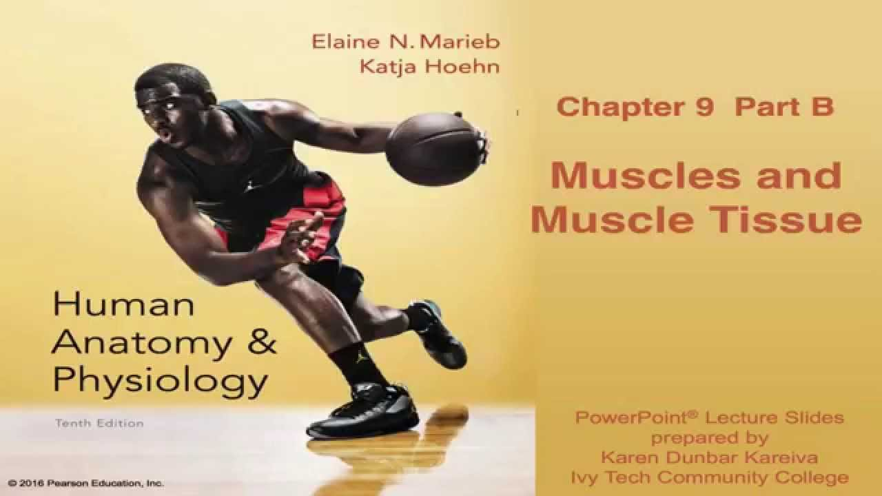 Anatomy & Physiology Chapter 9 Part B Lecture: Muscles & Muscle ...