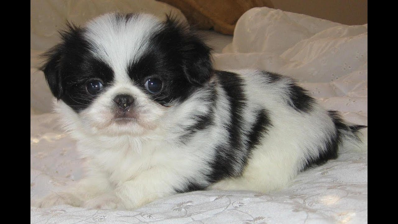 Japanese Chin Puppies Dogs For Sale In Columbus Macon