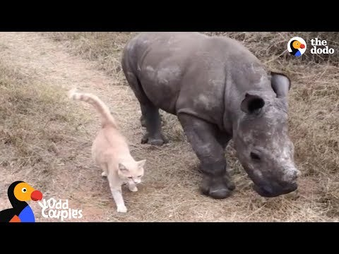Cat and Baby Rhino are Best Friends | The Dodo Odd Couples