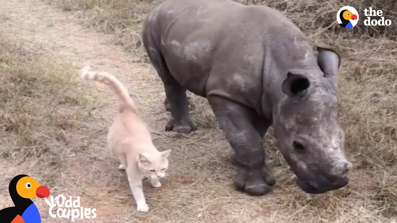 Animal Odd Couples Youtube cat and baby rhino are best friends | the dodo odd couples