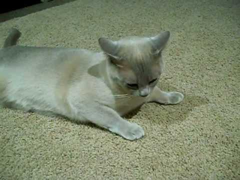 Harley the Burmese Cat