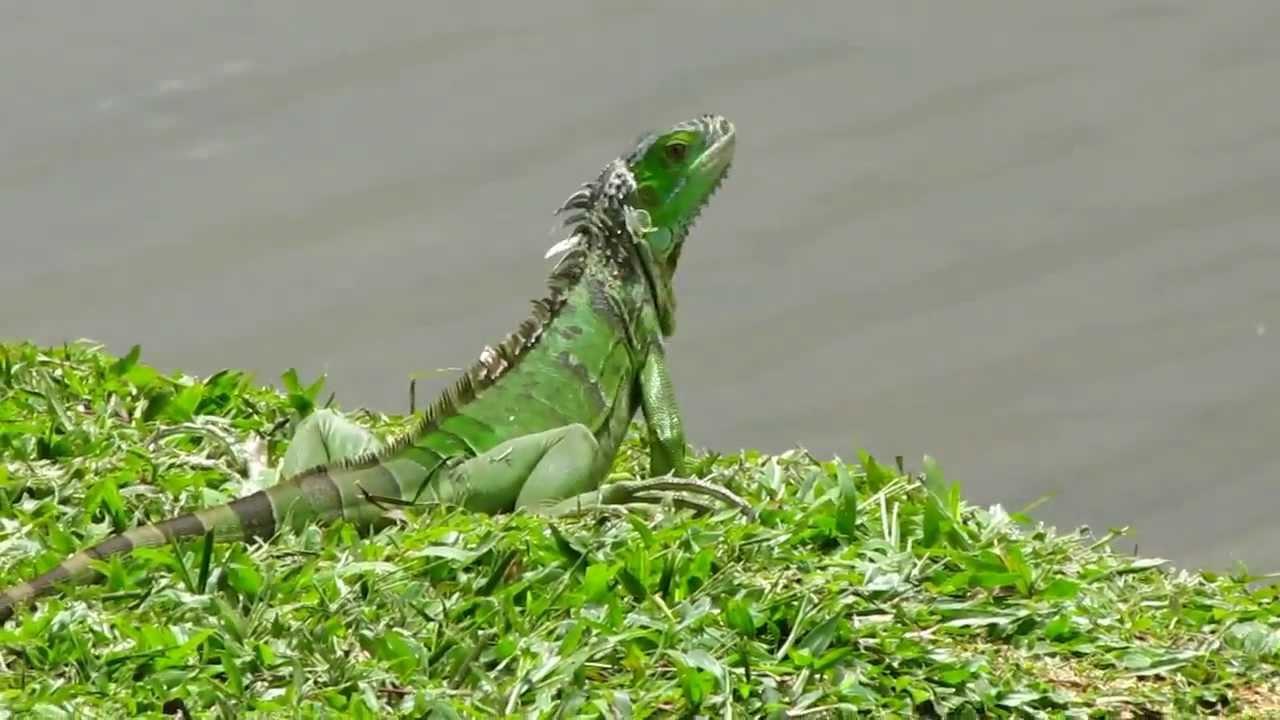 Funny Green Iguana @ Japanese Garden-Singapore - YouTube