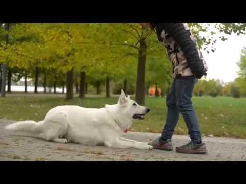 White swiss shepherd Flight 2 years. Dog tricks, frisbee and treibball
