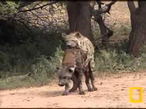 Africa Salvaje - Como Sucede El Apareamiento De Las Hienas