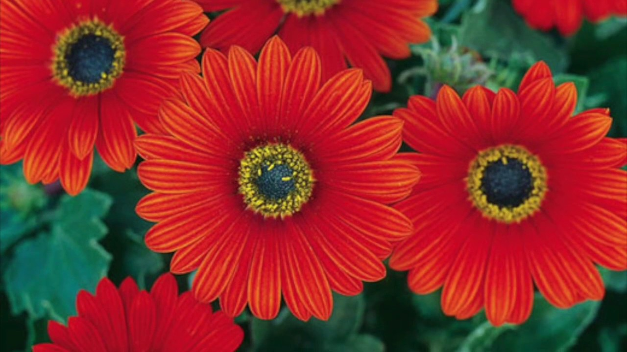 How To Plant And Care For African Daisies Flowers By Happy Twirl