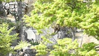 岐阜県海津市にある行基寺の境内にて、桜の花びらを食べるサルたち。