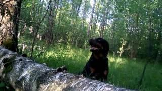 Смартфон в пасти ротвейлера.Мир с высоты собаки ч.1(Ротвейлер Пуська находит и приносит смартфон с включенной камерой.Как видит собака мы представить не можем..., 2016-05-26T17:44:59.000Z)
