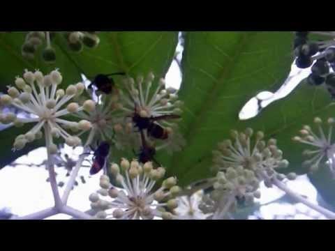frelon asiatique Plougastel