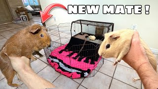 RESCUED GUINEA PIG GETS A NEW FRIEND !