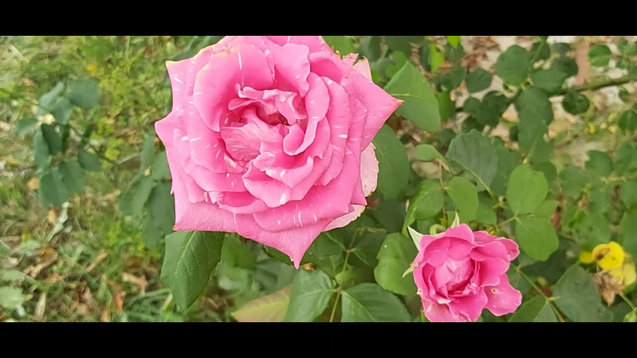 tratament cu parazit de trandafir)