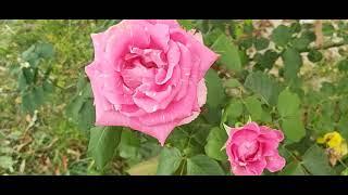 les trandafiri slăbire)