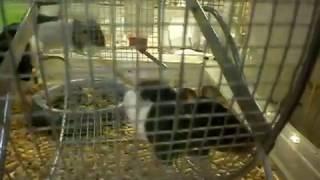 Видео. Крыски в зоомагазине в клетке. Интересные животные.