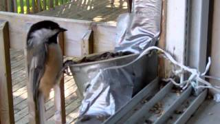 Black-Capped Chickadees at Feeder