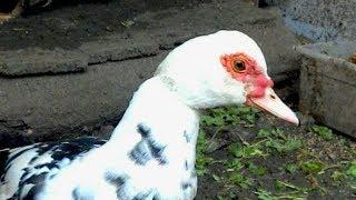 Индоутки против кур/Свежая зелень для птицы зимой