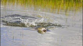 EPIC Topwater Fish Explosions -- (Fishing Saltwater Marsh)