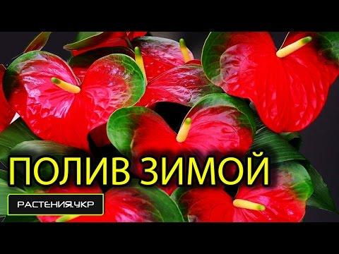 Уход за орхидеями камбрия, буррагеара, беаллара, колманара