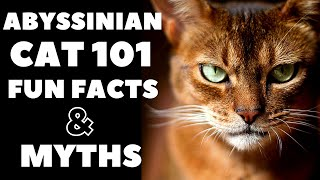 Abyssinian Cats 101 : Fun Facts & Myths