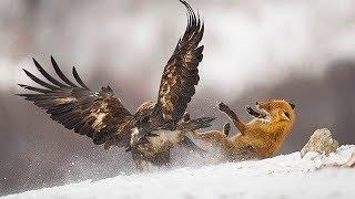 ПТИЦЫ В ДЕЛЕ Орёл против лисы Сова против волка Ястреб против собаки Гусь против быка