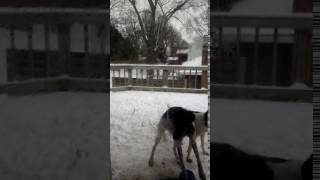 LUNAtic, a German Shorthaired Pointer, wants in NOW! | Fergie's Mess