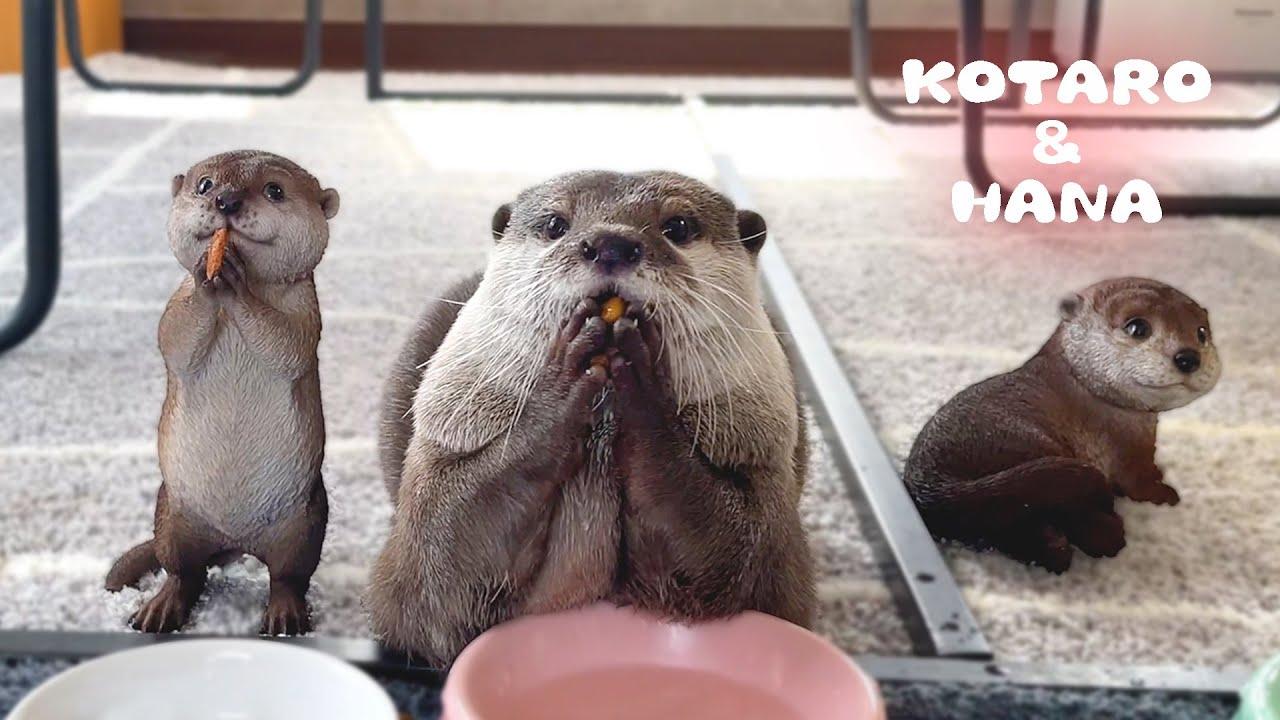 食事中のカワウソの隣にこっそり自分そっくりな人形を置いてみた Reaction of Otters When I Put Otter Dolls Next to Them