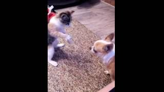 Кошка нападает на чихуахуа. Приколы с кошками