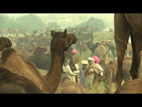Foire en Inde: des milliers de chameaux et éleveurs réunis (2)