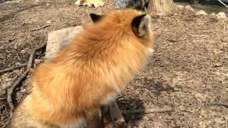 fox say! キツネの鳴き声(キツネ村にて) thumbnail