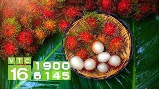 Bội thu mùa chôm chôm trái vụ ở miền Tây | VTC16
