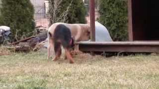 Spanish Mastiff And German Shepherd Puppies Having Fun