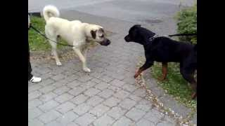 Rottweiler Vs. Kangal  -dangerous Meeting-