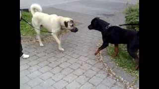 Rottweiler vs. Kangal  -Dangerous Meeting- thumbnail
