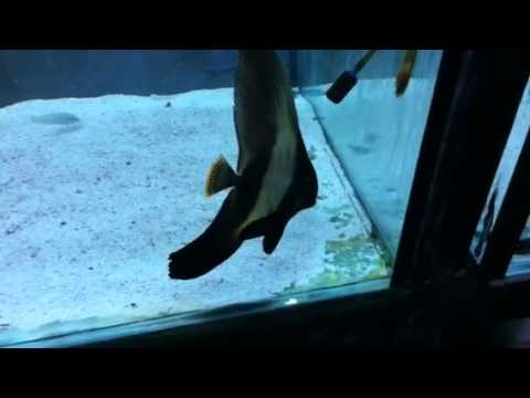 Paul Talbot Shows You A Lovely Pinnatus Batfish
