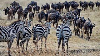 Download Video Zebra kawanan kerbau makan buaya saat melintasi sungai. MP3 3GP MP4