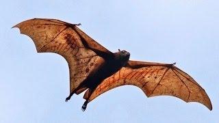 Гигантская летучая лисица - Large Flying Fox (Энциклопедия животных)
