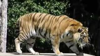 Tigers Muscles. The cat with the biggest muscles, most muscles, most strength Part 1.